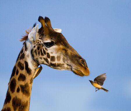 jirafa: jirafa y okspeker Foto de archivo