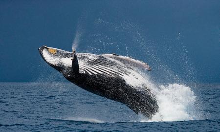 ballena: Salto de la ballena jorobada. Madagascar Foto de archivo