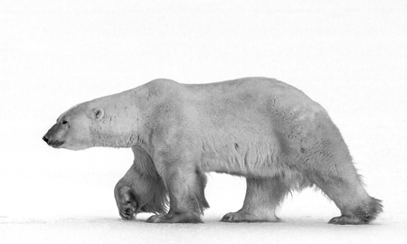 A polar bear on the tundra. Snow. Canada. Stock Photo - 54428568