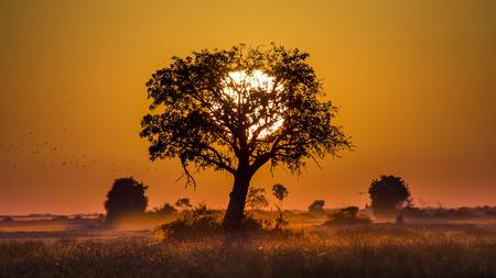 Tree at Sunset in Botswana. Okavango Delta. Africa.