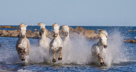 regional: White Camargue Horses galloping along the sea beach. Parc Regional de Camargue. France. Provence. An excellent illustration