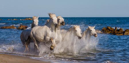White Camargue Horses galloping along the sea beach. Parc Regional de Camargue. France. Provence. An excellent illustration