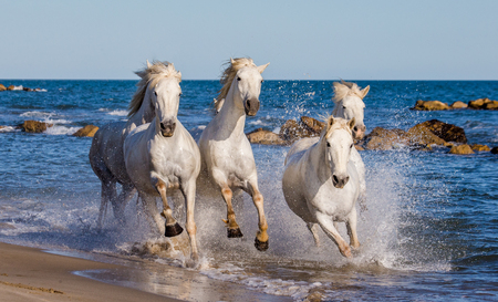 White Camargue Horses galloping along the sea beach. Parc Regional de Camargue. France. Provence. An excellent illustration Stok Fotoğraf - 63319107