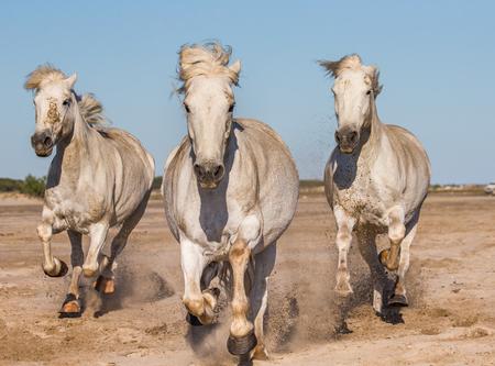 parc: White Camargue Horses galloping on the sand. Parc Regional de Camargue. France. Provence. An excellent illustration