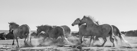 camargue: White Camargue Horses galloping on the sand. Parc Regional de Camargue. France. Provence. An excellent illustration