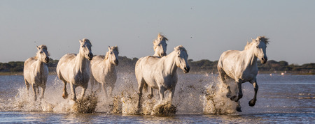 camargue: White Camargue Horses run in the swamps nature reserve. Parc Regional de Camargue. France. Provence. An excellent illustration Stock Photo