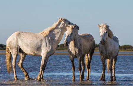 swamps: White Camargue Horses stand in the swamps nature reserve. Parc Regional de Camargue. France. Provence. An excellent illustration