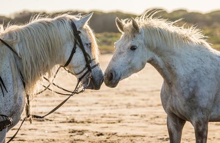 parc: Portrait of two White Camargue horses. Parc Regional de Camargue. France. Provence. An excellent illustration