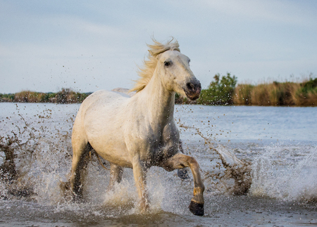 runing: White Camargue Horse is runing in the swamps nature reserve. Parc Regional de Camargue. France. Provence.An excellent illustration Stock Photo