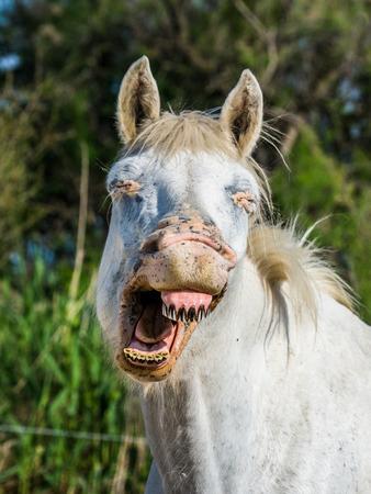 regional: Portrait of the White Camargue Horse. Parc Regional de Camargue. France. Provence. An excellent illustration