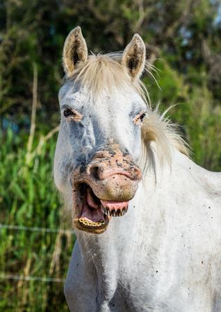 camargue: Portrait of the White Camargue Horse. Parc Regional de Camargue. France. Provence. An excellent illustration