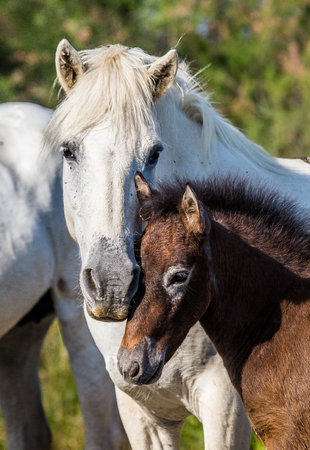 regional: Mare with her foal. White Camargue horse. Parc Regional de Camargue. France. Provence. An excellent illustration Stock Photo