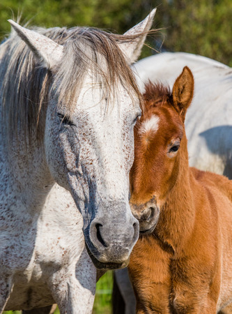 camargue: Mare with her foal. White Camargue horse. Parc Regional de Camargue. France. Provence. An excellent illustration Stock Photo
