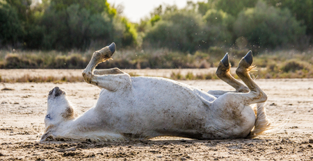 camargue: White Camargue horse lying on his back on the ground. Parc Regional de Camargue. France. Provence. An excellent illustration