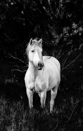 parc: White Camargue Horses stand in the swamps nature reserve. Parc Regional de Camargue. France. Provence.