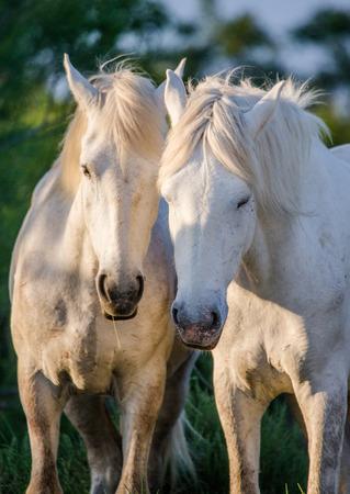 camargue: Portrait of twoWhite Camargue horses. Parc Regional de Camargue. France. Provence. An excellent illustration Stock Photo