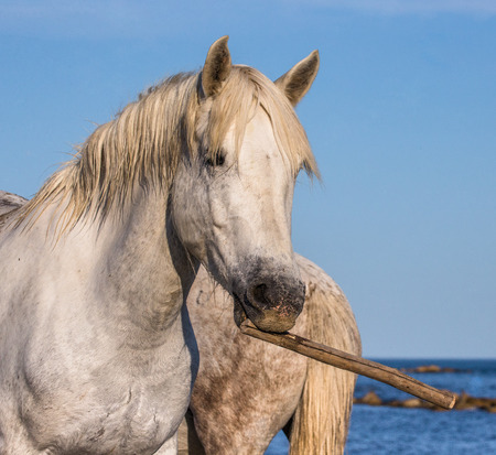 camargue: Portrait of a whiteCamargue horse with a stick in his mouth. Funny picture. Parc Regional de Camargue. France. Provence. An excellent illustration