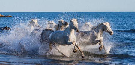 White Camargue Horses galloping along the sea beach. Parc Regional de Camargue. France. Provence. An excellent illustration Stock Photo