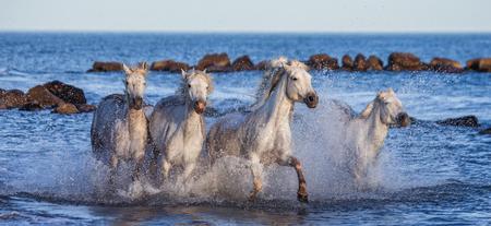 camargue: White Camargue Horses galloping along the sea beach. Parc Regional de Camargue. France. Provence. An excellent illustration
