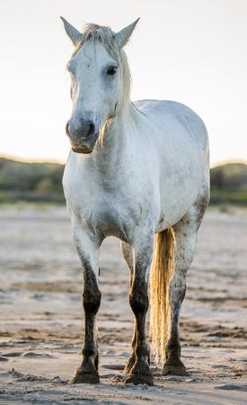 parc: White Camargue horse standing on sand. Parc Regional de Camargue. France. Provence. An excellent illustration Stock Photo