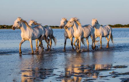regional: White Camargue Horses run in the swamps nature reserve. Parc Regional de Camargue. France. Provence.