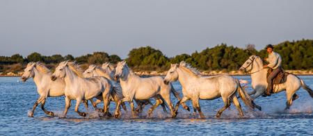 parc: Rider on the horse grazeCamargue horses. Parc Regional de Camargue. France. Provence. An excellent illustration