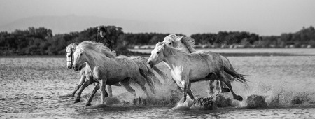 regional: White Camargue Horses run in the swamps nature reserve. Parc Regional de Camargue. France. Provence. An excellent illustration Stock Photo
