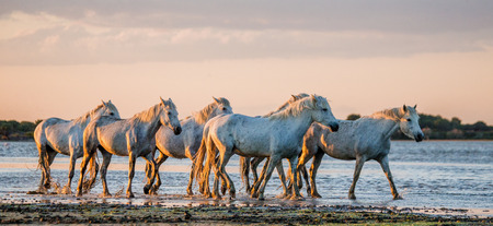 White Camargue horses flow along sand. Parc Regional de Camargue. France. Provence. An excellent illustration
