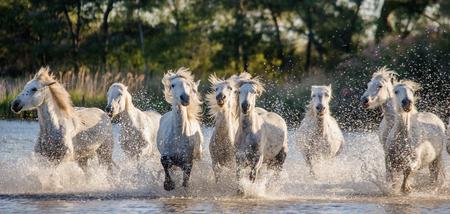 swamps: White Camargue Horses run in the swamps nature reserve. Parc Regional de Camargue. France. Provence. An excellent illustration Stock Photo