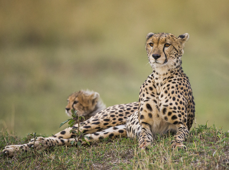cheetah cub: Mother cheetah and her cub in the savannah. Kenya. Tanzania. Africa. National Park. Serengeti. Maasai Mara. An excellent illustration.