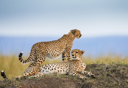 cheetahs: Two cheetahs on the hill in the savannah. Kenya. Tanzania. Africa. National Park. Serengeti. Maasai Mara. An excellent illustration.