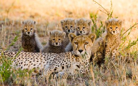 maasai mara: Mother cheetah and her cubs in the savannah. Kenya. Tanzania. Africa. National Park. Serengeti. Maasai Mara. An excellent illustration. Stock Photo