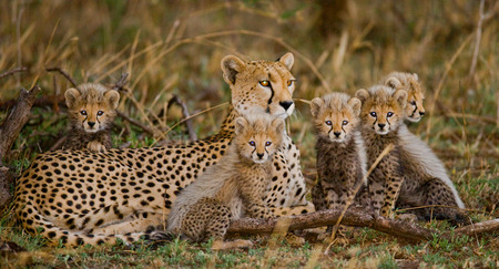 Mother cheetah and her cubs in the savannah. Kenya. Tanzania. Africa. National Park. Serengeti. Maasai Mara. An excellent illustration. Reklamní fotografie