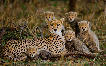 Mother cheetah and her cubs in the savannah. Kenya. Tanzania. Africa. National Park. Serengeti. Maasai Mara. An excellent illustration. Stock Photo