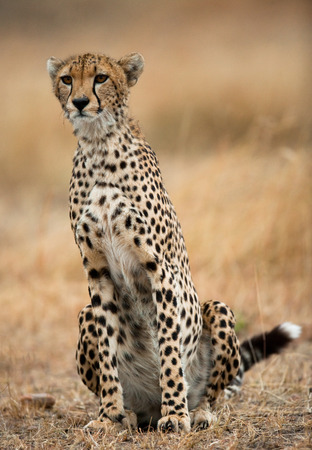 maasai mara: Cheetah sitting in the savanna. Close-up. Kenya. Tanzania. Africa. National Park. Serengeti. Maasai Mara. An excellent illustration. Stock Photo