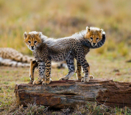 cheetah cub: Two cheetah cub standing on a rock. Kenya. Tanzania. Africa. National Park. Serengeti. Maasai Mara. An excellent illustration.