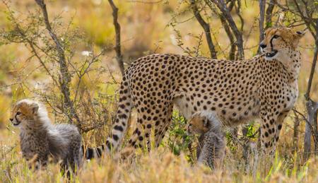 cheetah cub: Mother cheetah and her cub in the savannah. Kenya. Tanzania. Africa. National Park. Serengeti. Maasai Mara. An excellent illustration.
