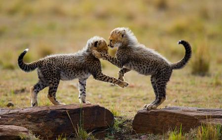 maasai mara: Cheetah cubs play with each other in the savannah. Kenya. Tanzania. Africa. National Park. Serengeti. Maasai Mara. An excellent illustration.