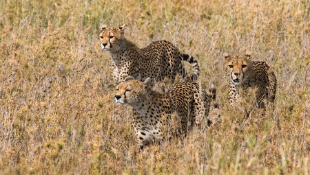 cheetahs: Three cheetahs in the savannah. Kenya. Tanzania. Africa. National Park. Serengeti. Maasai Mara. An excellent illustration.