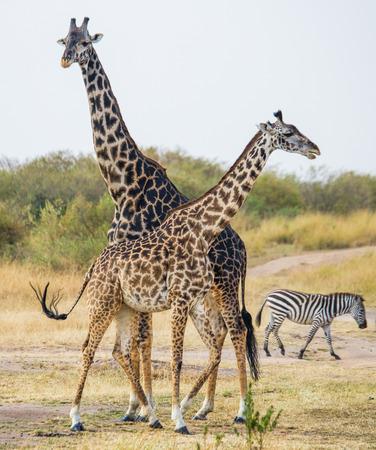 사바나에서 아기와 여성 기린입니다. 케냐. 탄자니아. 동 아프리카. 훌륭한 그림. 스톡 콘텐츠