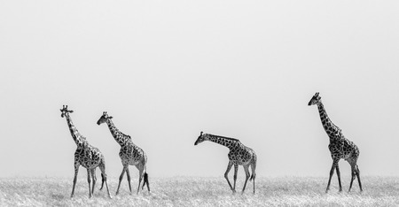 Group of giraffes in the savanna. Kenya. Tanzania. East Africa. An excellent illustration. Stock Photo