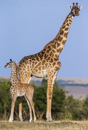 girafa fêmea com um bebê na savana. Quênia. Tanzânia. Este de África. Uma excelente ilustração.