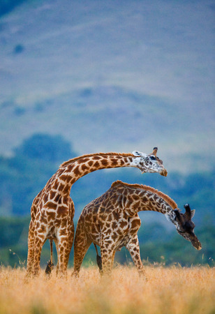 Two giraffes in savanna. Kenya. Tanzania. East Africa. An excellent illustration.