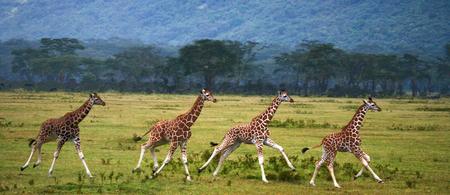 Four baby giraffe running across the savannah. Close-up. Kenya. Tanzania. East Africa. An excellent illustration. Reklamní fotografie