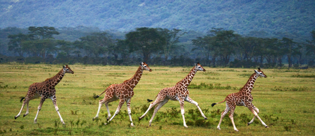 Four baby giraffe running across the savannah. Close-up. Kenya. Tanzania. East Africa. An excellent illustration. Stock Photo