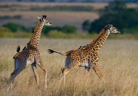Two baby giraffe in savanna. Kenya. Tanzania. East Africa. An excellent illustration.