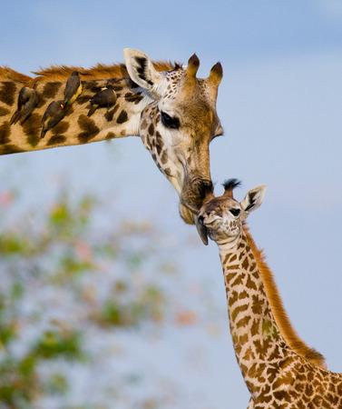 jirafa con un bebé en la sabana. Kenia. Tanzania. Este de Africa. Una excelente ilustración.