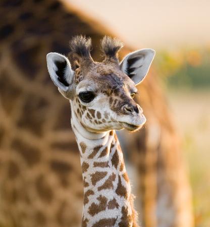 サバンナで赤ちゃんキリン。ケニア。タンザニア。東アフリカ。優秀なイラスト。