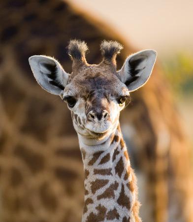 jirafa del bebé en la sabana. Kenia. Tanzania. Este de Africa. Una excelente ilustración.