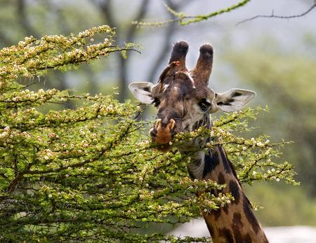 기린은 아카시아 사바나를 먹고 있습니다. 닫다. 케냐. 탄자니아. 동 아프리카. 훌륭한 그림.